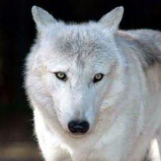 """Résultat de recherche d'images pour """"loups blancs"""""""