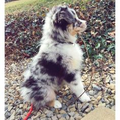The smart exercise for Australian shepherd puppies needs # Australian … - Cats and Dogs House Australian Shepherd Puppies, Aussie Puppies, Cute Dogs And Puppies, Doggies, Aussie Shepherd, Mini Australian Shepherds, Corgi Puppies, Husky Puppy, German Shepherds