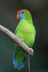Camiguin Hanging Parrot - Loriculus (camiguinensis) philippensis