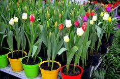 Como plantar tulipas em vasos. As tulipas são graciosas espécies encontradas em uma grande variedade de cores. A sua haste ereta e longa exibe uma belíssima flor solitária, que combina com jardins e varandas. Desse modo, elas podem...
