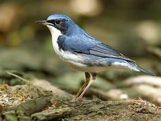 Siberian Blue Robin (Luscinia cyane) is a small passerine bird that was formerly classified as a member of the thrush family, Turdidae, but is now more generally considered to belong to the Old World flycatcher family, Muscicapidae.