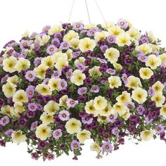 Proven Winners - Supertunia® Limoncello® - Petunia hybrid yellow soft yellow with deep yellow veins plant details, information and resources. Container Flowers, Container Plants, Container Gardening, Plants For Hanging Baskets, Garden Yard Ideas, Patio Ideas, Backyard Ideas, Short Plants, Proven Winners