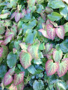 Epimedium at the blarney castle Shade Plants, Back Gardens, Succulents, Castle, Bloom, Deep, Vegetables, Ferns, Succulent Plants