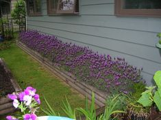 Mass lavender planting on side of house... probably smells heavenly