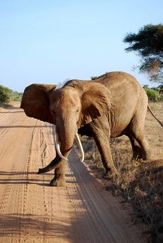 Why is the #elephant crossing  the road? To get away from poachers. #ivoryforelephants #stoppoaching #elephants for #ivory ! #animals
