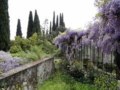 Wisteria and Italian Cyprus trees in an old garden.  Beautiful.