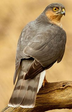 A~Eurasian sparrowhawk (Accipiter nisus), also known as the northern sparrowhawk or simply the sparrowhawk, is a small bird of preY. Pretty Birds, Love Birds, Beautiful Birds, Animals Beautiful, Exotic Birds, Colorful Birds, Rapace Diurne, Sparrowhawk, Big Bird