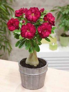 Photo Rose du désert à fleurs doubles rouges