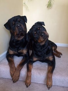 Love me some Rotties!