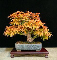 acer palmatum shohin bonsai