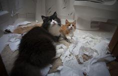 Dos gatos tirados sobre el piso de un baño con trozos de papel alrededor