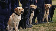 Gran Bretagna: anche i cani poliziotto avranno la pensione! | Eticamente.net