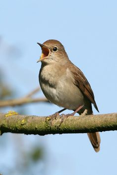 Audio clips to help identify birdsong. |   Photo of the Common Nightingale by Nigel Blake, from this site: http://www.birdforum.net/opus/Common_Nightingale