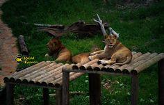Aslanlar.. [Gaziantep Hayvanat Bahçesi]