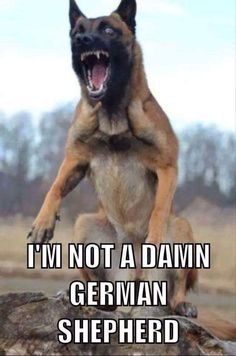 Please, no upsetting my Malinois. Military Working Dogs, Military Dogs, Police Dogs, Belgium Malinois, Belgian Malinois Dog, Belgian Malamute, German Malinois, Belgian Shepherd, German Shepherd Dogs