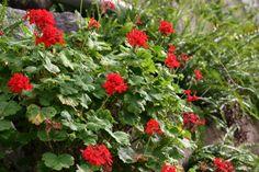 Geranios bajo la lupa: siembra, riego y cuidados - http://www.jardineriaon.com/geranios-bajo-la-lupa-siembra-riego-y-cuidados.html