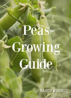 Peas Growing Guide: How to Grow a Pea Harvest | EarthandHoney.co