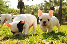 Baby frenchies!!!  Plus, the one sniffing the grass is a little frenchie puppy version of Bina.
