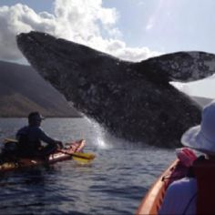 "Id crap my pants! Now this would be a REAL adventure: ""This is a real shot from a kayak business in Maui- Aloha Kayaks Maui. ** How absolutely wonderful. And while the whales are passing through. Canoe And Kayak, Kayak Fishing, All Gods Creatures, Sea Creatures, Interesting Animals, Whale Watching, Adventure Is Out There, Ocean Life, Hawaiian Islands"
