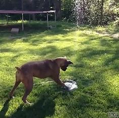 Dog Helps Water The Lawn...