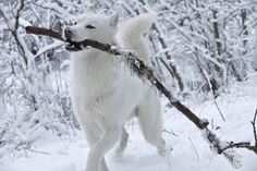 White Siberian Husky, they all love sticks, branches, and trees
