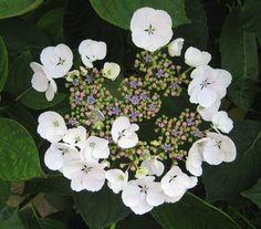 Lacecap Hydrangeas