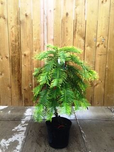 Wollemi Pine. Wollemia Nobilis. Rare Conifers for sale UK.