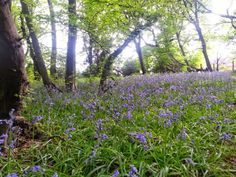 Top 5 places to find Bluebells in Epping Forest including Chingford, Wanstead, Loughton and Upshire Epping Forest, Walks, Places, Woking, Lugares
