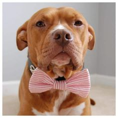 Uplifting So You Want A American Pit Bull Terrier Ideas. Fabulous So You Want A American Pit Bull Terrier Ideas. Terriers, Terrier Dogs, Pitbull Terrier, King Charles Spaniel, Cavalier King Charles, Beagle, I Love Dogs, Cute Dogs, Dog Park