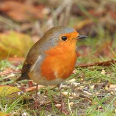 7 Idees De Rouge Gorge Familier Erithacus Rubecula European Robin Rouge Gorge Rouge Galeries De Photos