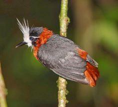 White-plumed Antbird - Brazil, Colombia, Venezuela, Ecuador, Peru, Guyana, Suriname, and French Guiana