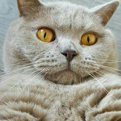 British shorthair lilac supercute cat