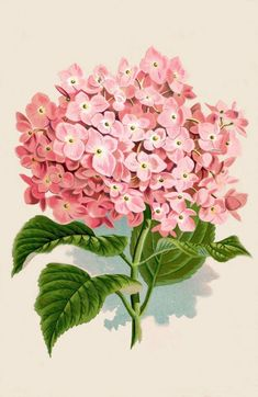 Free Printable Pink Hydrangea Flower - The Graphics Fairy! Love this vintage botanical design print. Would look great with Shabby Chic or Cottage style Home Decor!