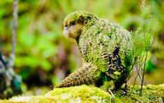 The Kakapo is the worlds largest nocturnal parrot in the world! And its the only flightless parrot! Flightless Parrot, Kakapo Parrot, Nocturne, Pet Rats, Pets, Weird Birds, Rare Animals, Strange Animals, Extinct Animals