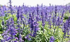 Hyssop Essential Oil - Uses and Benefits for your skin. Hyssop Essential Oil, Kids Cough, What Is Evil, Natural Deodorant, Geraniums, The Fresh, Purple Flowers, Perennials, Natural Remedies