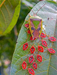 Very interesting! These are Pentatomoidea, commonly known as shield bugs or stink bugs. Shield bugs have glands in their thorax between the first and second pair of legs which produce a foul smelling liquid. This liquid is used defensively to deter potential predators and is sometimes released when the bugs are handled carelessly.
