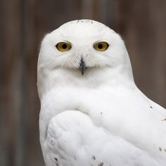 Snow Owl we went to Kincraig wildlife park in Scotland oh boy picture u can get are amazing