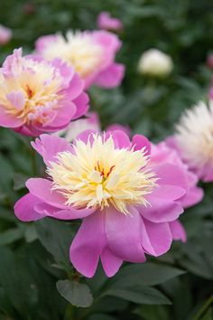 bec167f846a99 Buy paeony / peony Paeonia lactiflora 'Bowl of Beauty' - Dainty anemone  like pink-tinted flowers: Delivery by Waitrose Garden in association with  Crocus