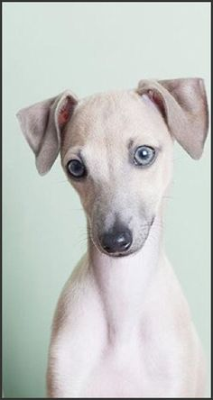 Italian Greyhound puppy, love the color & beautiful blue-gray eyes! Cute Puppies, Cute Dogs, Dogs And Puppies, Italian Greyhound Puppies, Whippet Dog, Grey Hound Dog, Dog Rules, Animal Photography, Elephant Photography