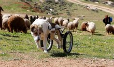 """Abayed, a six-year-old herding dog, walks with a specially-made wheeled walking aid outside the Humane Center for Animal Welfare near Amman February 26, 2013. The dog, whose name means """"white,"""" was hospitalized and treated after a bullet pierced his spine and paralyzed him some two years ago. (Reuters photo) #animals #goodnews"""