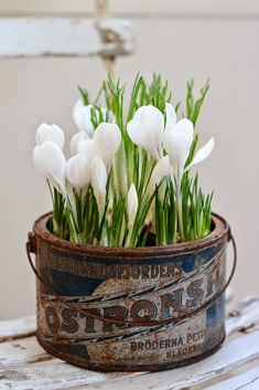 Spring tulips in a rusty advertising tin (or is this crocus?)