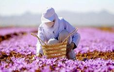 An Iranian woman harvesting Safran in the fields of Khorasan (please click the link above from more beautiful photos). Iran Today, Saffron Flower, Military Intervention, Iranian Women, Persian Culture, Open Window, Wonderful Images, Beautiful World, Art History