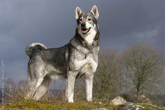Jämthund / Jamthund / Swedish Elkhound #dogs