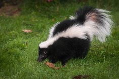 Photo about Striped Skunk Mephitis mephitis Sniffs in Grass - captive animal. Image of natural, horizontal, fall - 87609547 Striped Skunk, Bath Maine, Smelly Dog, Welsh Words, Two Dogs, Animal Control, Christmas Illustration, Panda Bear, Your Dog