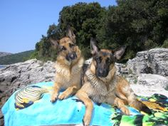 Must collect your dog's feces ; keep in mind that other people and animals also want to enjoy sea fun, so do not let your dog go where he should not be. Funny Animal Videos, Videos Funny, Funny Animals, Small Pine Trees, Shade Tent, Shape Tape, Dog Shower, Animal Quotes, Laughing So Hard