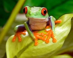 Tree Frog Art Red Eyed Tree Frog on Leaf Frogs by FrogFun on Etsy, $25.00