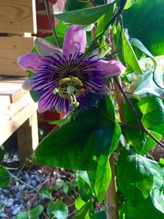 Passion Vine to attract hummingbirds and butterflies