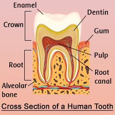 Cross section of a human tooth