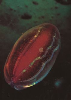 Ctenophora. (National Geographic, 1973)
