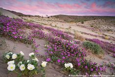 Desert Sand Verbena and Dune Evening Primrose bloom on the sand dunes of Anza-Borrego Desert State Park, California.